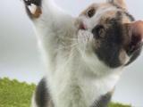 艳阳天猫舍 繁育出售各种高品质名猫 图片均为实拍