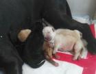 小区家养纯种拉布拉多小狗接受预订