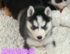自家 蓝眼睛的哈士奇狗狗出售了健康有保证