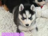 自家的蓝眼睛的哈士奇狗狗出售了健康有保证