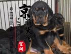 丽江哪里有卖罗威纳犬的