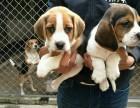 较通人性的伴侣犬 大脑袋大耳朵 质量三包 签署协议