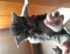 自家纯种美短母猫繁育小猫找好人家