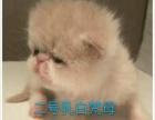 成都猫舍英短蓝猫蓝白渐层美短 加菲专业繁育保证养活
