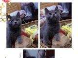 英短蓝猫每只一千元