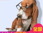 哪里有卖巴吉度犬巴吉度犬多少钱 支持全国发货