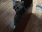家养英短折耳猫咪