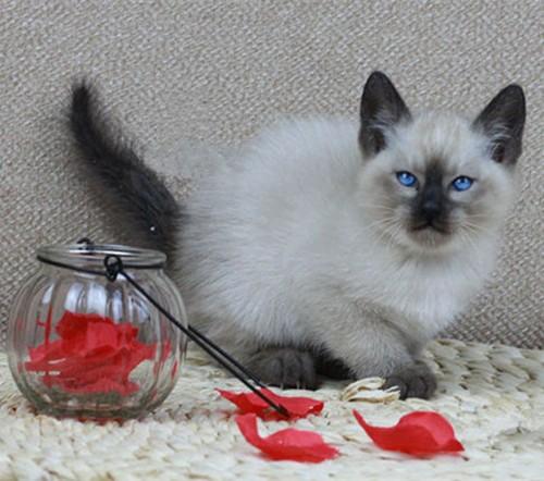 家养泰国暹罗猫 公母都有 欢迎上门挑选