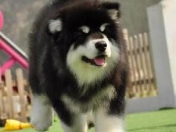 纯种阿拉斯加犬 颜色齐全签保障协议服从性高 终身售后