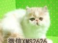 萌萌的小加菲猫异国短毛猫,价格亲民包健康