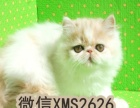 家庭繁殖英短纯蓝/加白橘眼正八脸粉鼻头出猫好配猫强