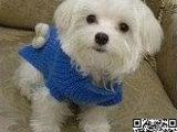 纯种马尔济斯犬价格 纯种马尔济斯犬多少钱