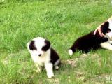 出售智商最高的边境牧羊犬宝宝 公母都有多窝选择