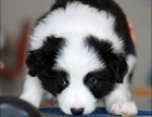 犬舍出售纯种边境幼犬 价格500品质优良 签订活体协议