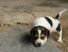 咸阳哪里卖纯种比格犬 咸阳比格猎犬多少钱 咸阳猎犬价格是多少