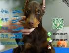 杜宾犬多少钱一只/在哪里能买到