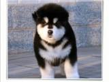 阿拉斯加犬出售 钱 黑色阿拉斯加