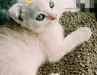 两个月美短折耳猫等待爱猫的你~