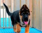 云南狗场常年出售纯种昆明犬狼青犬 全国出售