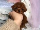 超可爱的小体玩具泰迪熊宝宝出售保证健康保证纯种