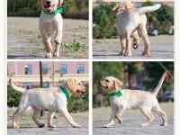 上海低价出售拉德牧犬 布拉多阿拉斯加巴哥泰迪熊 博美 哈士奇