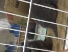 出售英短 蓝猫 小猫咪