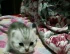 家养纯种银虎斑猫