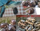 """河源出售纯南种石金钱龟""""黑颈龟""""金钱龟""""安南"""