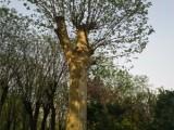 新乡25公分紫叶李里多