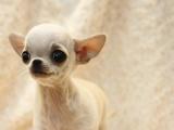 柳州哪里有卖纯种狗狗,柳州什么地方有卖吉娃娃,柳州狗狗