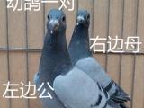 信鸽 种鸽 赛鸽 血统信鸽 成绩赛鸽