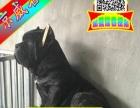 北京卡斯罗狗场出现犬瘟、细小疾病90天免费调换
