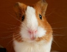 荷兰鼠,天竺鼠。
