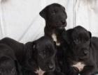 批发出售肉狗苗800只加盟 种植养殖