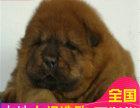 哪里有卖松狮犬松狮犬多少钱 支持全国发货