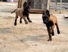 选狗,质量健康保证,精品双血统小马犬,价格优惠