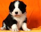 长期繁殖七白三通边牧犬 理解力高 容易训练
