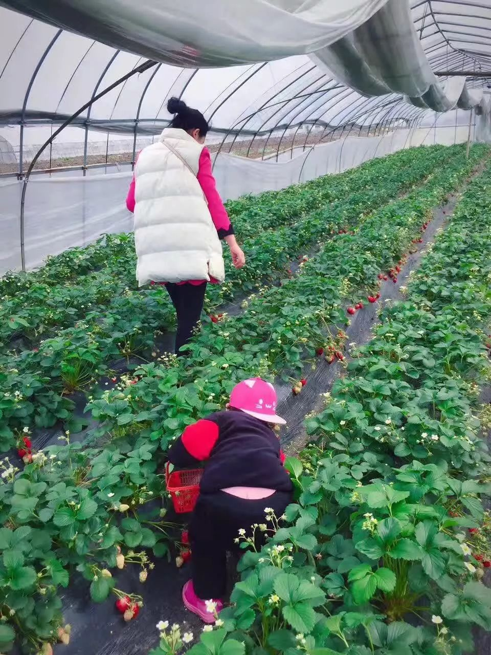 新鲜草莓开摘,想来摘草莓的亲看过来