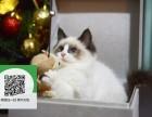 天津哪里卖布偶猫便宜 天津哪里卖布偶猫 天津哪里买布偶猫