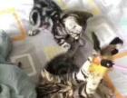 自养虎斑幼猫出售