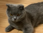 纯种蓝猫幼崽