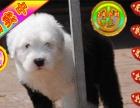 古牧幼犬出售 犬舍直销包纯种保健康 售后签协议