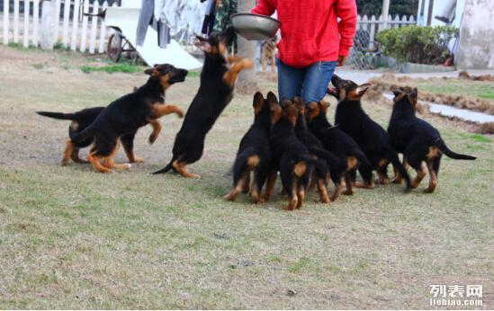 体形血统都到位的德牧幼犬 短毛弓背品相很好
