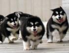 纯种健康阿拉斯加幼犬 品种齐全 纯正血统 品质有