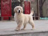 青岛哪里卖健康的金毛犬 青岛金毛多少钱 青岛纯种金毛的价格