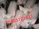 江苏宿迁哪里出售仔猪猪苗小猪崽价格便宜