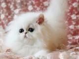 厦门出售金吉拉幼猫自家猫舍种猫繁殖保证血统纯正