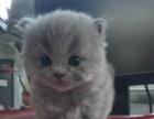 喵贵族名猫馆 超萌健康可爱高品质 蓝猫、渐层、英短