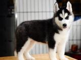 精品哈士奇幼犬 多色可选 可见父母 自家繁殖