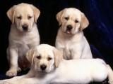 佛山哪里有卖纯种拉布拉多犬 广东旺驰犬舍 cku认证专业繁殖